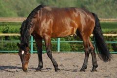 Härlig brun häst i paddocken Arkivbild