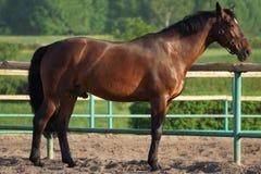 Härlig brun häst i paddocken Arkivbilder