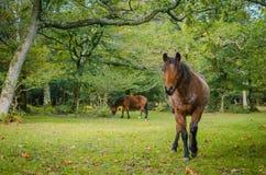 Härlig brun häst som betar i bakgrunden häst som ser kameran i förgrunden Arkivfoto