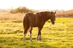 Härlig brun häst under solnedgång Arkivfoton