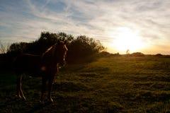 Härlig brun häst under solnedgång i ett fält Fotografering för Bildbyråer