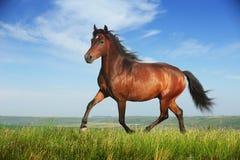 Härlig brun hästrunningtrav Arkivfoton