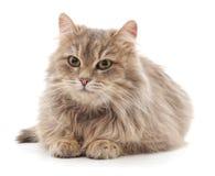 Härlig brun katt Royaltyfri Bild