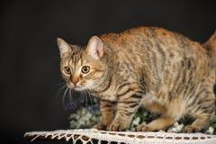 Härlig brun katt Arkivfoton