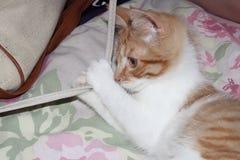 Härlig brun katt som tar påsen royaltyfria bilder