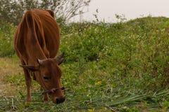 Härlig brun ko som betar på löst gräs Arkivbilder