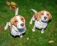 Härlig, brun och vit beaglehundvalp Arkivbild