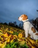 Härlig, brun och vit beaglehundvalp Arkivfoton