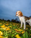 Härlig, brun och vit beaglehundvalp Royaltyfri Foto