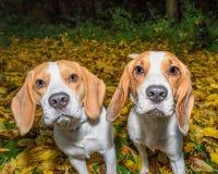 Härlig, brun och vit beaglehundvalp Royaltyfria Bilder