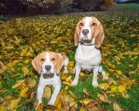 Härlig, brun och vit beaglehundvalp Royaltyfri Bild