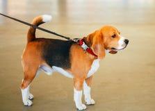Härlig, brun och vit beaglehundvalp för barn, Royaltyfri Fotografi