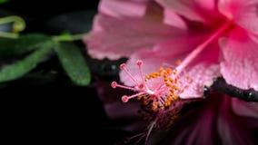 Härlig brunnsortinställning av den delikata rosa hibiskusen, grön ranka Arkivbilder