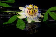 Härlig brunnsortinställning av passiflorablomman och den gröna filialen Fotografering för Bildbyråer