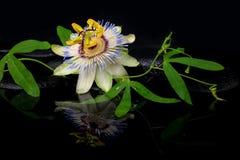 Härlig brunnsortstilleben av passiflorablomman och den gröna filialen Royaltyfri Fotografi