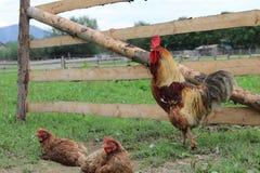 Härlig brunt med ett rött vapen, ekologiskt lantbruk royaltyfri foto