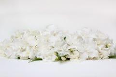 Härlig bukett av den vita gardeniajasminoidesblomman Fotografering för Bildbyråer