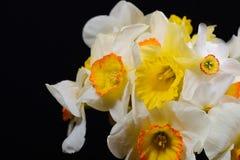 Härlig bukett av gula och vita påskliljor, stark kontrast royaltyfri foto