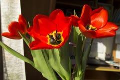 Härlig bukett av röda tulpan Arkivbilder