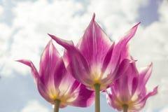Härlig bukett av tulpan färgrik tulpan tulpan i vår, färgrik tulpan Fotografering för Bildbyråer