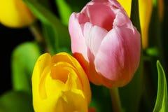 Härlig bukettrosa färg- och gulingtulpan Arkivbild