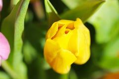 Härlig bukettrosa färg- och gulingtulpan Royaltyfria Foton