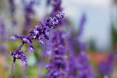 Härlig bukettViolet Lavender Flowers For Nature bakgrund Royaltyfri Bild