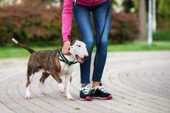 Härlig bull terrier hund utomhus i sommar arkivfoton