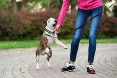 Härlig bull terrier hund utomhus i sommar royaltyfria foton