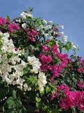 Härlig buske av blomningoleandr Färg: rosa färger vit, gräsplan, blått royaltyfri bild