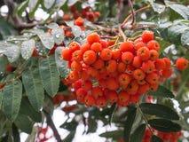 Härlig buske av den röda rönnen med gröna sidor på en ljus backgro royaltyfria bilder