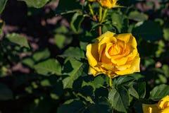 Härlig buske av gula rosor i en vårträdgård Steg trädgården royaltyfria bilder
