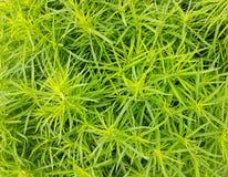 Härlig buske av Kochianärbild royaltyfria foton