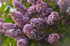 Härlig buske av purpurfärgade lilor Arkivbilder