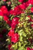 Härlig buske av röda rosor i en vårträdgård röda ro blomma trädgård Vår Sommar Arkivfoto