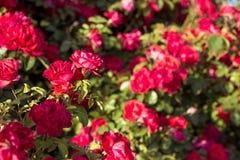 Härlig buske av röda rosor i en vårträdgård röda ro blomma trädgård Vår Sommar Fotografering för Bildbyråer
