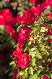 Härlig buske av röda rosor i en vårträdgård röda ro blomma trädgård Vår Sommar Royaltyfria Bilder