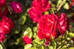 Härlig buske av röda rosor i en vårträdgård röda ro blomma trädgård Vår Sommar Royaltyfri Fotografi