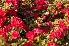 Härlig buske av röda rosor i en vårträdgård röda ro blomma trädgård Vår Sommar Arkivbild
