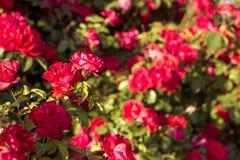 Härlig buske av röda rosor i en vårträdgård röda ro blomma trädgård Vår Sommar Royaltyfri Foto