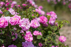 Härlig buske av rosa rosor i en vårträdgård field blomman Fältet av te steg Steg trädgården Royaltyfria Bilder