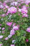 Härlig buske av rosa rosor i en vårträdgård field blomman Fältet av te steg Steg trädgården Arkivfoton