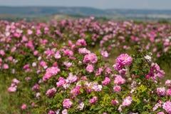 Härlig buske av rosa rosor i en vårträdgård field blomman Fältet av te steg Steg trädgården Royaltyfri Bild