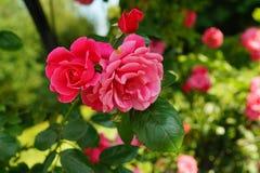 Härlig buske för röda rosor i trädgård på sommardagen arkivfoton