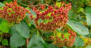Härlig buske med frukter Royaltyfri Foto