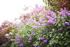 Härlig buske som blommar lilan i sommarträdgården royaltyfri bild
