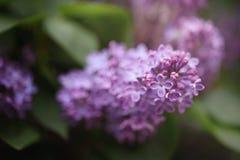 Härlig buske som blommar lilan i sommarträdgården royaltyfri foto