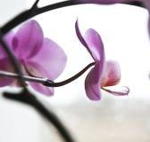 härlig caladeniapink Arkivfoton