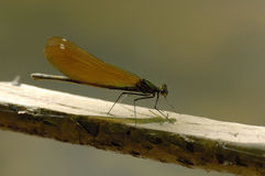 härlig calopteryxdemoisellevirgo Royaltyfria Bilder
