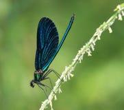 härlig calopteryxdemoisellevirgo Royaltyfri Fotografi